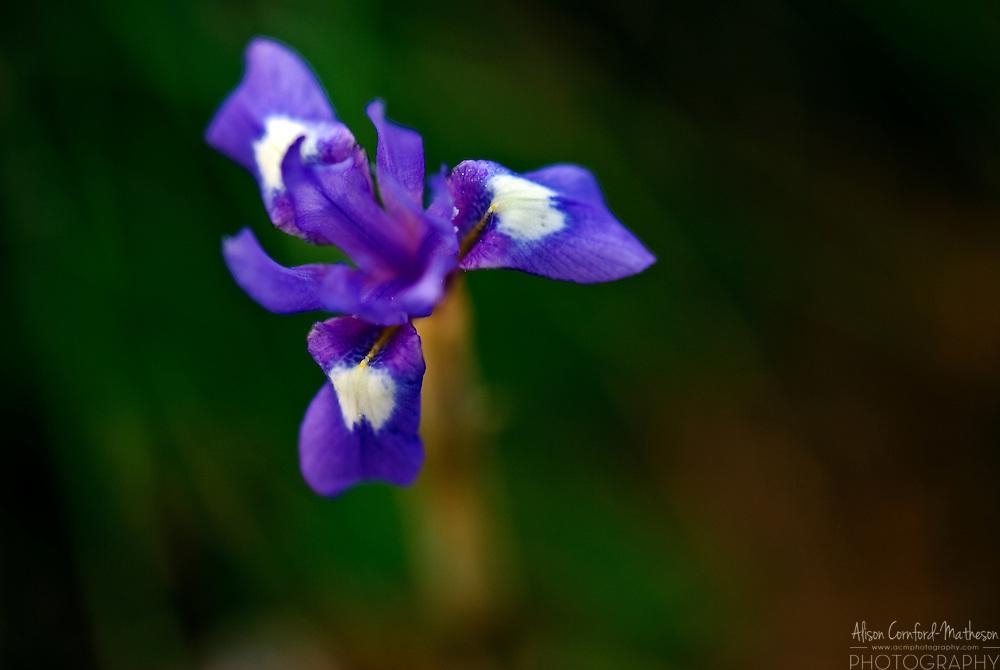 Wild Iris bloom in Sardinia, Italy's rocky ground.