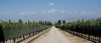Rows of grapevines stand in the shadow of the Andes mountains in the Luján de Cuyo area of Mendoza, Argentina.