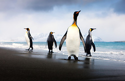 King Penguins (Aptenodytes patagonicus) on beach in South Georgia.