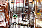 Thousands of caged birds are for sale at Jakarta's largest bird market. With recent outbreaks of Bird Flu in Indonesia authorities have looked to relocate this market to somewhere less densely populated but have been met with tough resistence from the shop owners.