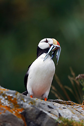 Horned Puffin (Fratercula corniculata) with needle fish sitting on a rock, Duck Island, Tuxedni Wilderness, Alaska Maritime National Wildlife Refuge, Alaska, United States of America