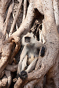 Indian Langur female monkey, Presbytis entellus, in Banyan Tree in Ranthambhore National Park, Rajasthan, Northern India
