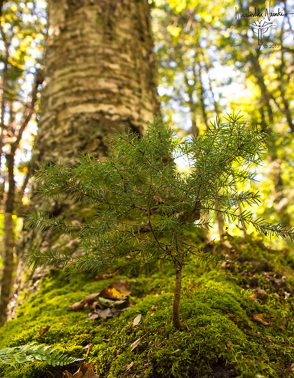 A tiny spruce sapling springing up from the moss covered root mound of a huge old birch tree. Renewal in Nature.