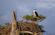 A male osprey stands guard over his mate as she sits on the nest.<br /> Blue Cypress Lake, FL