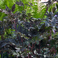 Purple-leaf Bugbane (Actaea racemosa 'Brunette').