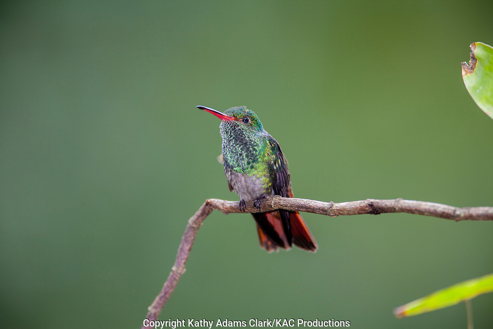 Rufous-tailed hummingbird, perched, Sarapiqui, Costa Rica.