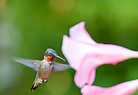 A male Ruby Throated Hummingbird at a pink backyard Mandeville flower.