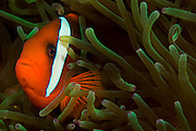Tomato Clownfish (Amphiprion frenatus) in a sea anemone in Komodo Island, Indonesia.