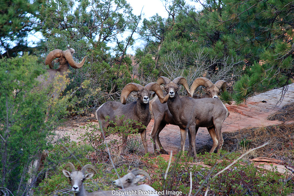Five mature Desert Bighorn sheep establishing dominance for breeding rights during the rutting season. Rams posture and huddle prior to the rut.