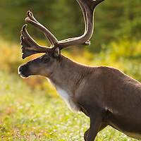 Caribou with antlers covered in velvet posing in Denali National Park Alaska.