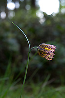 "Also known as the checker lily or mission bells, the chocolate lily (Fritillaria lanceolata - fritillaria refers the mottled or checkered pattern on the petals) is a native, somewhat uncommon to rare member of the lily family found in cool mid-elevation mountains to coastal forests ranging from Northern California to British Columbia, and as far east as Idaho. One the eastern side of the Cascade Mountains it can be found growing in open prairies and grassy bluffs. The chocolate lily grows from tiny rice-like bulbs and once was used as a food source to the indigenous people who have lived here for millennia. The Haida, a tribe from British Columbia when first introduced to rice, referred to this new food as ""fritillary-teeth."" This one was one of about a dozen found and photographed on Fidalgo Island in Anacortes, Washington on a mid-April afternoon almost at the very edge of the high cliffs overlooking Rosario Strait."