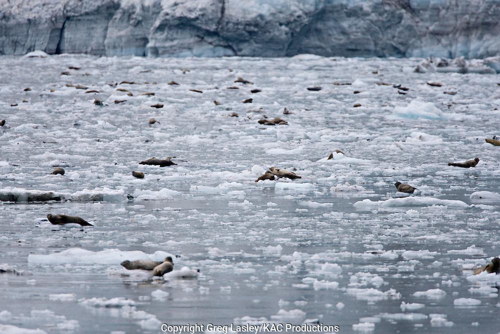 Harbor Seal.Phoca vitulina.resting on ice.John Hopkins Glacier.Glacier Bay National Park,.Alaska.9 August 2008
