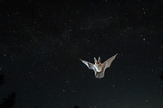Townsend's big-eared bat (Corynorhinus townsendii) flying at dusk in ponderosa forest in Central Oregon. © Michael Durham