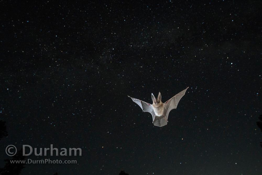 Townsend's big-eared bat (Corynorhinus townsendii) flying at dusk in ponderosa forest in Central Oregon. © Michael Durham