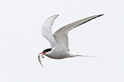 An arctic tern (Sterna paradisaea) flies with a capelan it caught in Jökulsárlón, Iceland (Glacier Lagoon). Arctic terns nest throughout Iceland during the summer. The bird migrates farther than any other. The arctic tern is found off South Africa and in the Antarctic Ocean during summer in the southern hemisphere.