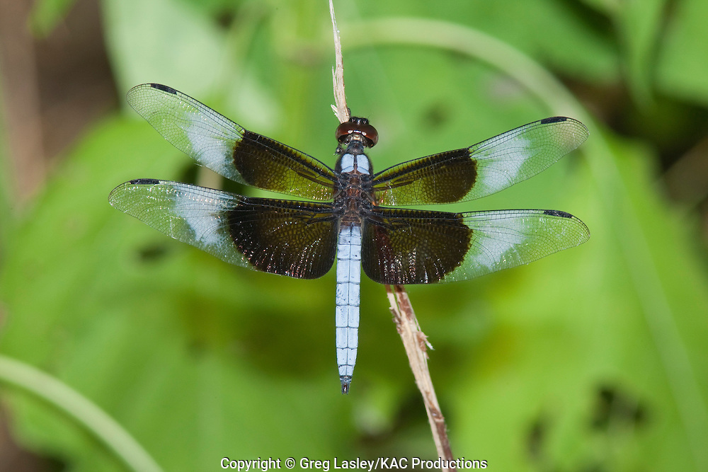 Widow Skimmer.Libellula luctuosa.male.Independence Park.Gonzales,.Gonzales Co., Texas.2 July 2009