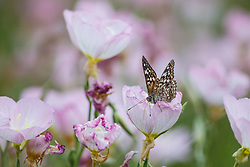Hackberry Emperor (Asterocampa celtis) in pink evening primrose, Great Trinity Forest, Dallas, Texas, USA