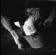 Alpsommer auf Alp Eischoll ob Turtmann, Wallis, beim Käser Martin Amman und seiner Familie. Hiuer werden jeden Sommer mehrere Tonnen Raclette-käse produziert und mit der anfallenden Schotte / Molke Alpschweine gemästet. © Romano P. Riedo