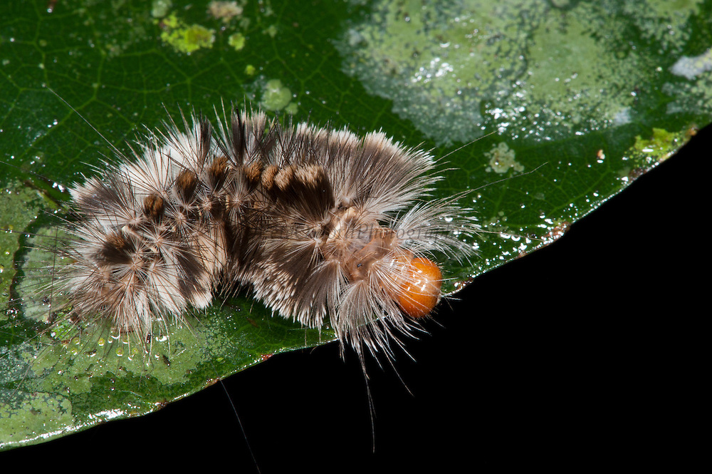 Moth Caterpillar (Lepidoptera)<br /> Yasuni National Park, Amazon Rainforest<br /> ECUADOR. South America