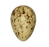 Curlew - Numenius arquata