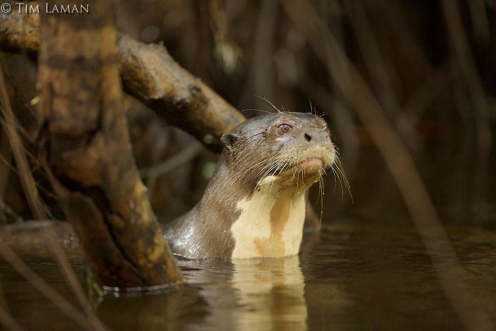 Giant River Otter (Pteronura brasiliensis) in Anangu creek, Yasuni National Park, Orellana Province, Ecuador