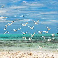 Gaviotas en Sebastopol. Parque Nacional del Archipiélago Los Roques, es un hermoso archipiélago de pequeñas islas de coral situado en el Mar Caribe y ocupa 221.120 hectáreas. Venezuela. Seagulls in Sebastopol. Los Roques Archipelago National Park, is a beautiful archipelago of small coral islands located in the Caribbean Sea and occupies 221,120 hectares. Venezuela