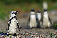African Penguins wlaking to the sea, Bird Island, Algoa Bay, Eastern Cape, South Africa