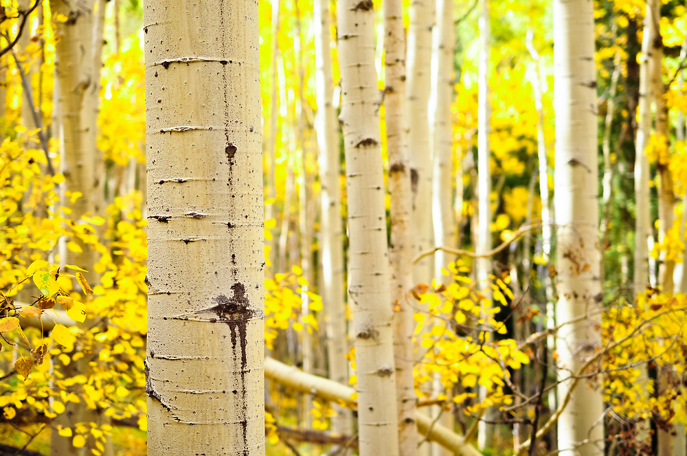 An aspen tree trunk against a blurred out autumn forest.<br />
