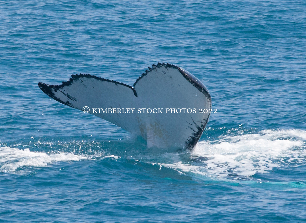 Humpback whale tail Lacepede Islands