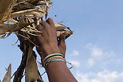 Young man harvesting corn / Joven cosechando maíz.