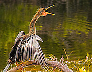 Anhinga drying wings with mouth open