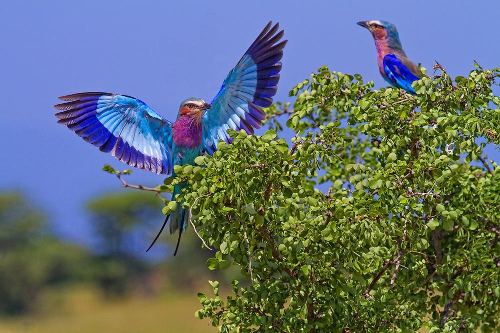 Lilac-breasted roller, Coracias caudatus, landing in a tree, Tarangire National Park, Tanzania, Africa