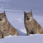 Canada Lynx, (Lynx canadensis) Montana. Pair in snow. Winter. Captive Animal.