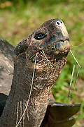 Galapagos Giant Tortoise (Geocheline nigra) adult feeding, Santa Cruz island, Galapagos archipelago, Ecuador,South America
