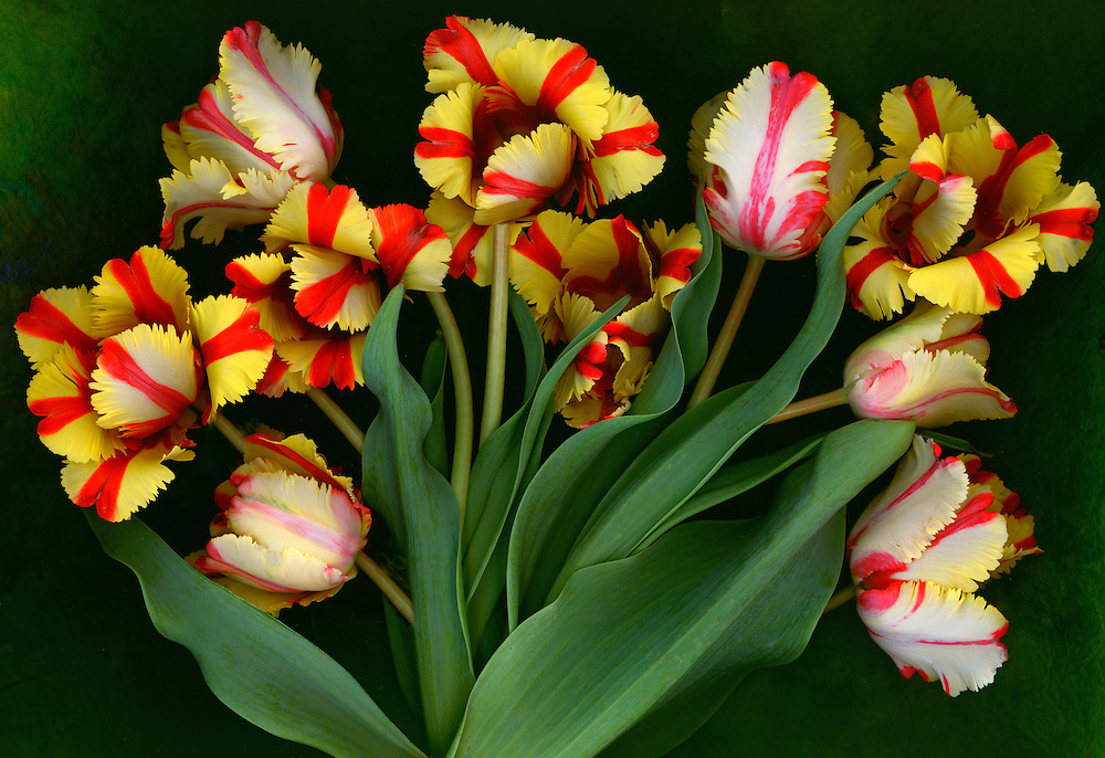 Parrot tulips / #VAR267