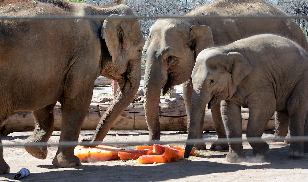 jt032517f/a sec/jim thompson/ left to right is Grandmother Alice,mother Rozie and baby Jazmine -Three generations of elephants check out the frozen cake (made of gatorade and fruit and veggies) in the elephant grounds for the birthday celebration for Irene's 50th birthday and the pregnancy announcement for Rozie. Friday March 24, 2017. (Jim Thompson/Albuquerque Journal)