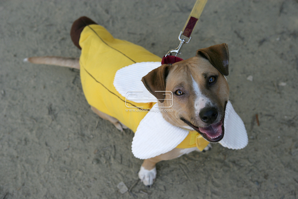 31st October 2009. Topanga, California. Much Love Animal Rescue's 6th Annual Bow Wow Ween! an annual Halloween event that helps find homes for stray animals and neglected pets. Pictured is Banana the Pit-Corgie mix dressed as a banana. PHOTO © JOHN CHAPPLE / www.chapple.biz.john@chapple.biz  (001) 310 570 9100.