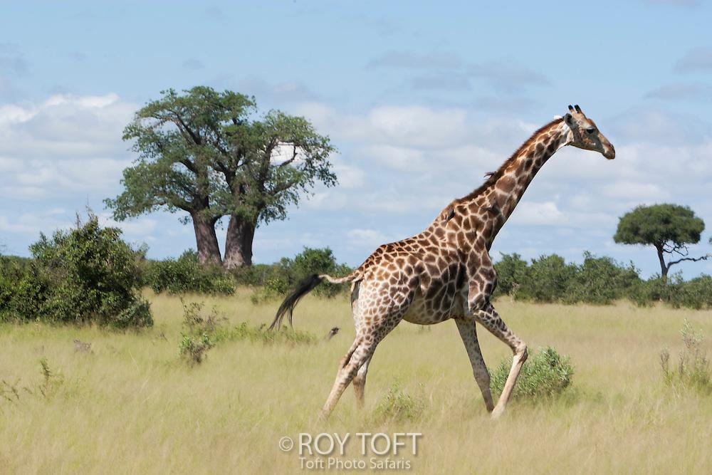 A giraffe running through the grass, Botrswana, Africa