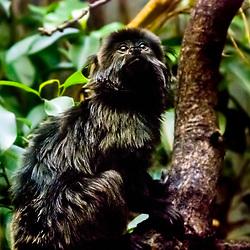Goeldi's marmoset (Callimico goeldii), endangered (vulnerable). Inhabits the Amazon basin in South American. Captive animal.