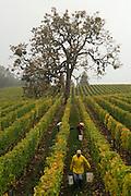 Harvesting pinot noir at Lemelson's Washer vineyard, Willamette Valley, Oregon