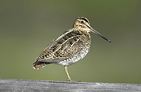 Common Snipe (Gallinago gallinago), near Powderface Trail, Kananskis Country, Alberta, Canada   Photo: Peter Llewellyn