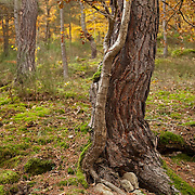Oak tree (Quercus) trunk in autumn scenery, Bois de Rodez, Auvergne, France