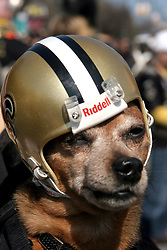 07 February 2010. New Orleans, Louisiana, USA. <br /> 'Chase' wears a Saints helmet. The 'Barkus' parade sets off with Saints mania clearly the flavour of the day for New Orleans' only dog Mardi Gras parade. Saints fans gather in the French Quarter in anticipation of the big game in Miami later in the day as the home team goes head to head with the Indianapolis Colts for Superbowl 44. <br /> Photo ©; Charlie Varley/varleypix.com