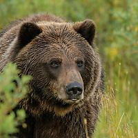 Coastal Brown Bear.