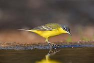 Yellow Wagtail - Motacilla flava subspecies dombrowskii