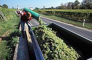 DEU, Germany, Rheingau, grape harvest near Erbach.....DEU, Deutschland, Rheingau, Weinlese bei Erbach.........