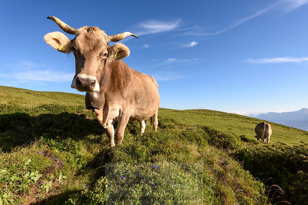 Schweizer Braunvieh auf einer Kuhweide auf der Alp Stierva, Parc Ela, Graub&uuml;nden, Schweiz<br /> <br /> Swiss Braunvieh on a cow pasture on the alp Stierva, Parc Ela, Grisons, Switzerland