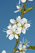 BLACKTHORN Prunus spinosa (Rosaceae) Height to 5m<br /> Thorny shrub that often forms dense thickets. Common in hedgerows and on sea cliffs. FLOWERS are 14-18mm across with 5 white petals; they appear before the leaves (Mar-Apr). FRUITS (sloes) are purplish with a powdery bloom, and resemble tiny plums. LEAVES areova, 2-4cm long and have toothed margins. STATUS-Common and widespread.