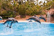 Orca & Dolphin Shows, Loro Park, Puerto de la Cruz, Tenerife, Spain