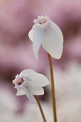Cyclamen hederifolium 'White Stargazer' syn. C. neapolitanum